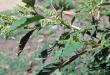 chữa bệnh gai cột sống bằng rau dền gai