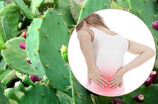 Cách chữa đau lưng bằng cây xương rồng